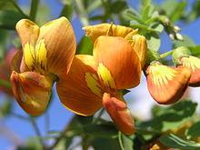 fleurs de baguenaudier