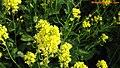 Colza (春天里绽放的油菜花) - panoramio.jpg