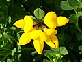 Common Bird's-foot-trefoil (Lotus corniculatus) top (4627113001).jpg