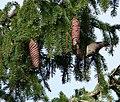 Common Crossbill on Norway Spruce, Newbyth Wood, East Lothian 2.jpg