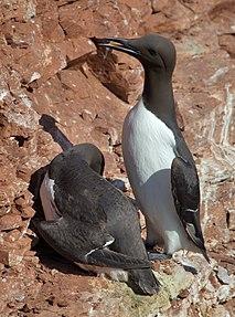 species of bird, auk