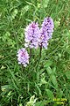 Common spotted orchids (SG) (29971359884).jpg