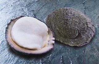 <i>Concholepas concholepas</i> Species of gastropod