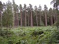 Coniferous trees in the Hawkhill Inclosure, New Forest - geograph.org.uk - 43463.jpg