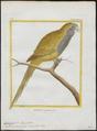 Conurus monachus - 1700-1880 - Print - Iconographia Zoologica - Special Collections University of Amsterdam - UBA01 IZ18500187.tif
