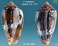 Conus achatinus 2.jpg