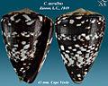 Conus ateralbus 2.jpg