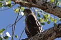 Cooper's Hawk (immature) Sweetwater Wetlands Tucson AZ 2017-04-21 08-44-52 (33513146903).jpg