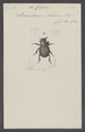 Copris - Print - Iconographia Zoologica - Special Collections University of Amsterdam - UBAINV0274 019 07 0032.tif