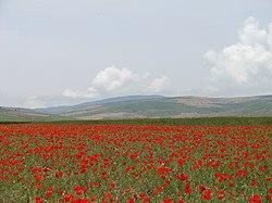 Corn Poppy PLAIN - panoramio.jpg