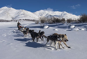 Sled dog - A sled dog team