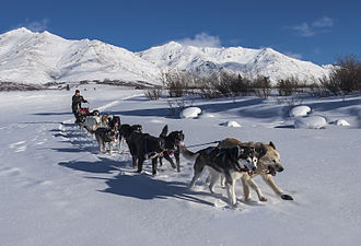 Sled dog - A sled-dog team of 12 in Denali National Park and Preserve