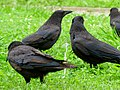 Corvus macrorhynchos in Hisaya-odori Park - 2.jpg