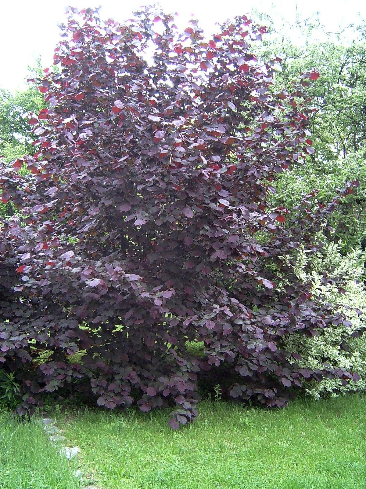 hibiscus exterieur