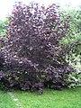 Corylus maxima 'Purpurea' 01.jpg