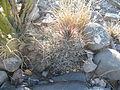 Coryphantha pseudoechinus (5710283189).jpg