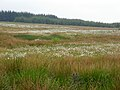 Cotton Grass Near Ardochrig - geograph.org.uk - 453001.jpg