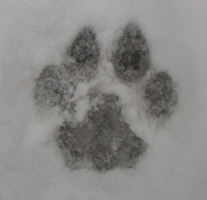 Front paw print of a cougar. An adult paw prin...