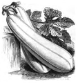 Courge blanche non coureuse Vilmorin-Andrieux 1883.png