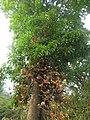 Couroupita guianensis - Cannon Ball Tree at Peravoor (52).jpg