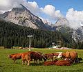 Cows on Ehrwalder Alm 7.jpg