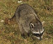 Cozumel Raccoon2.jpg