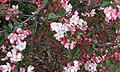 Crab apple blossoms in early May.jpg