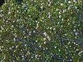 Creosote - Flickr - treegrow (2).jpg