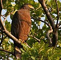 Crested Serpent Eagle (Spilornis cheela) in Kawal WS, AP W IMG 1913.jpg