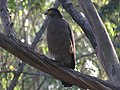Crested serpent eagle IMG 7001.jpg