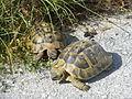 Crnovec - tortoise - P1100472.JPG