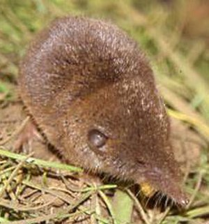 North African white-toothed shrew - North African white-toothed shrew (Crocidura pachyura)