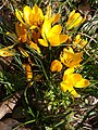 Crocus jaune 8 mars 2014.jpg