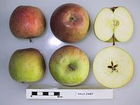 Cross section of Ralls Janet, National Fruit Collection (acc. 1953-133).jpg
