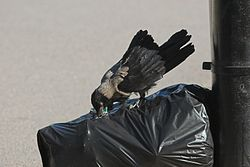 Crow searching food from punctured wastebag