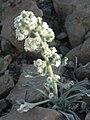 Cryptantha virginensis 2.jpg