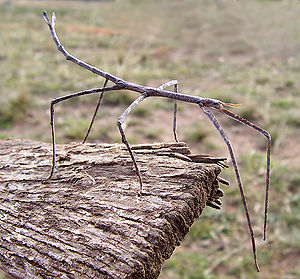 the American Walking Stick