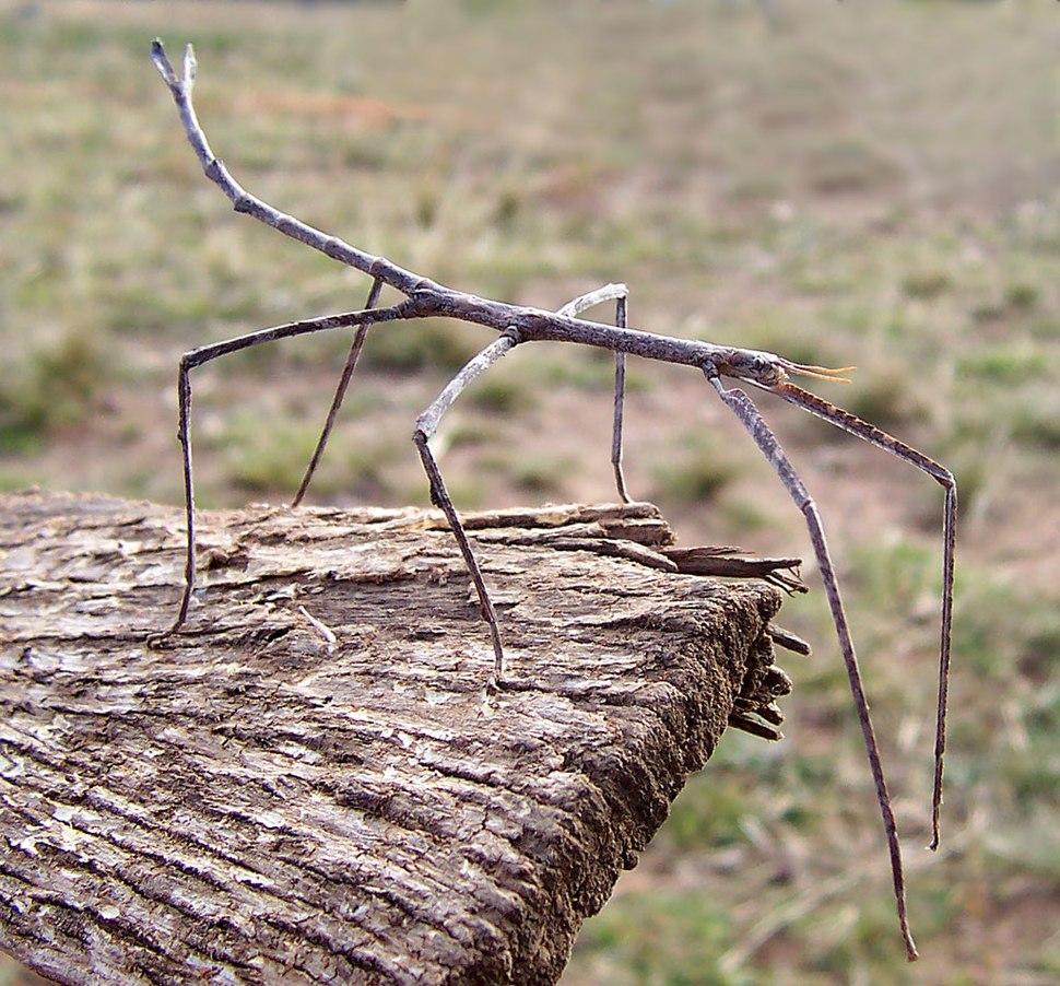 Ctenomorpha chronus02