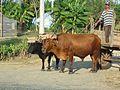 Cuban oxen.jpg