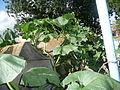 """Cucurbita maxima """"zapallo plomo"""" (Costanzi temp2) hojas plasmolizadas por corte de comunicación con la raíz y Cucurbita argyrosperma """"calabaza rayada o cordobesa"""" (Florensa) a la derecha fruto CaF05 20160301.JPG"""