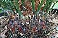 Cycas revoluta 11zz.jpg
