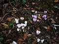 Cyclamen hederifolium & 'Album' 1.jpg