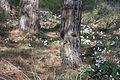 Cyclamen persicum 15.jpg