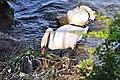 Cygnus olor (Küken) - Arboretum 2011-05-28 18-33-04.jpg