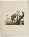 Cynocephalus hamadryas - 1833-1839 - Print - Iconographia Zoologica - Special Collections University of Amsterdam - UBA01 IZ20100021.tif