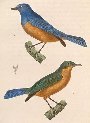 Timor blue flycatcher - Image: Cyornis hyacinthinus 1838