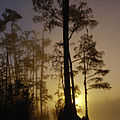 Cypress swamp in the mist (6893887647).jpg