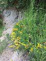 Cytisus procumbens sl33.jpg