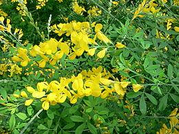 Cytisus x spachianus1