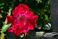DSC 5500 - The rail and the rose..jpg